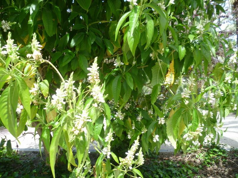 Justicia adhatoda (= Adhatoda vasica) - carmentine en arbre 1-p10104