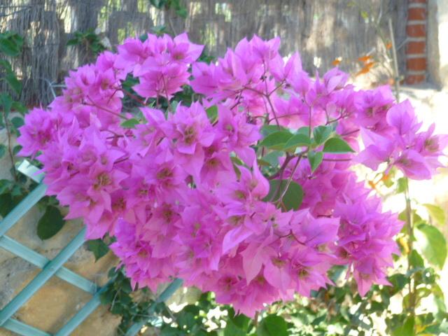Bougainvillea - hybrides et cultivars 1-p10113