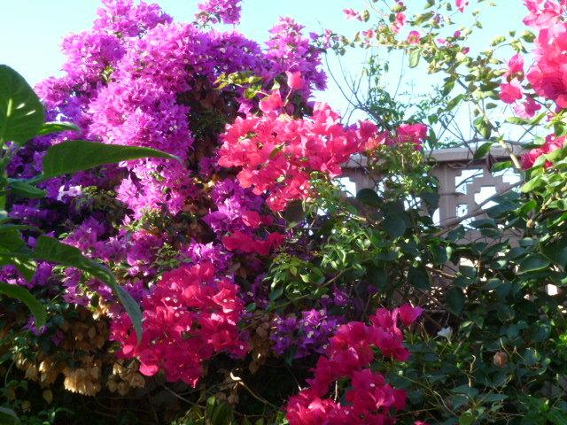 Bougainvillea - hybrides et cultivars 1-p10114