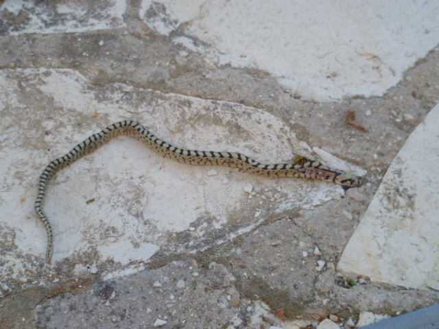 Serpent 1-p10126