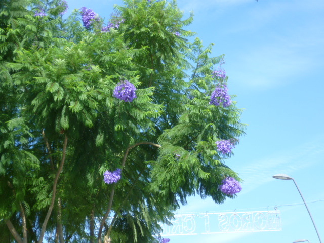 Jacaranda mimosifolia - Page 3 1-p10130