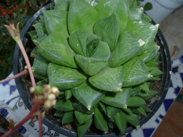 Haworthia cooperi var. truncata 1-p10133