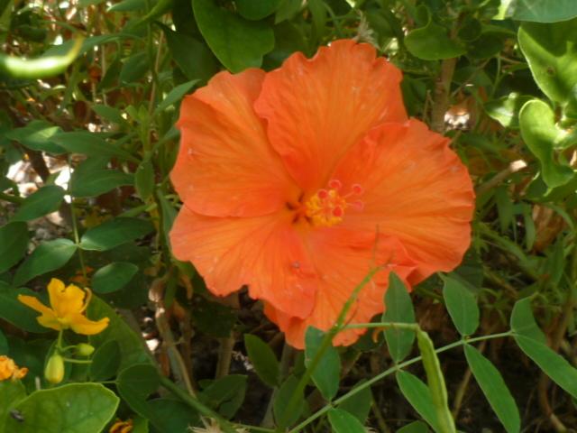 ces quelques fleurs de nos jardins - Page 4 1-p10811