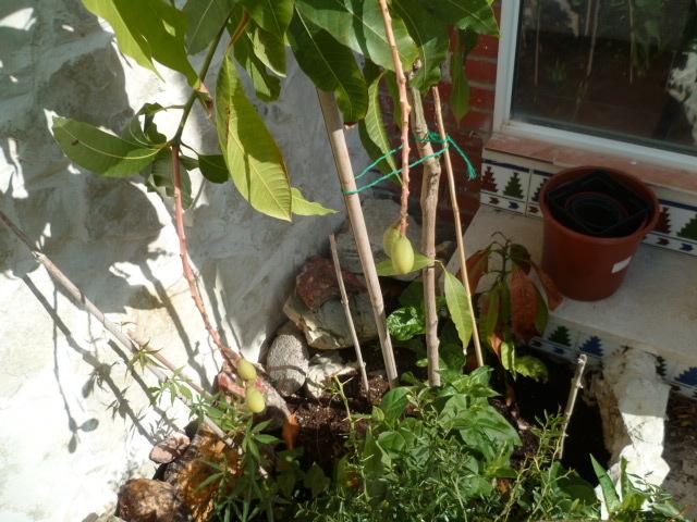 Mangifera indica - manguier - Page 2 1-p10816