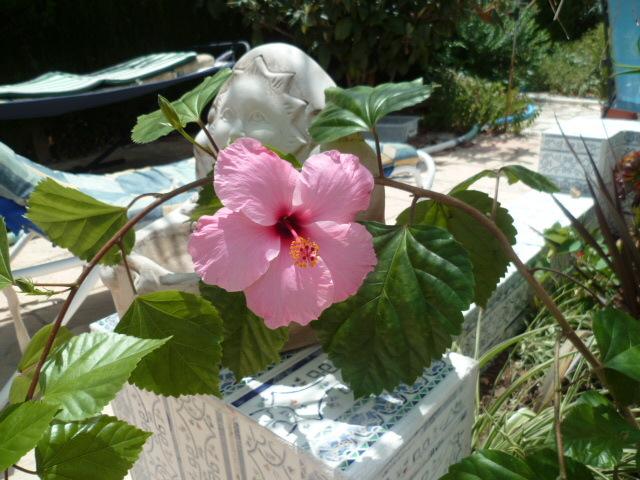 Hibiscus : conseils de culture et floraisons - Page 4 1-p10817
