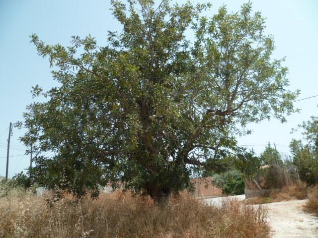 ceratonia siliqua - Ceratonia siliqua - caroube (graines) 1-p10819
