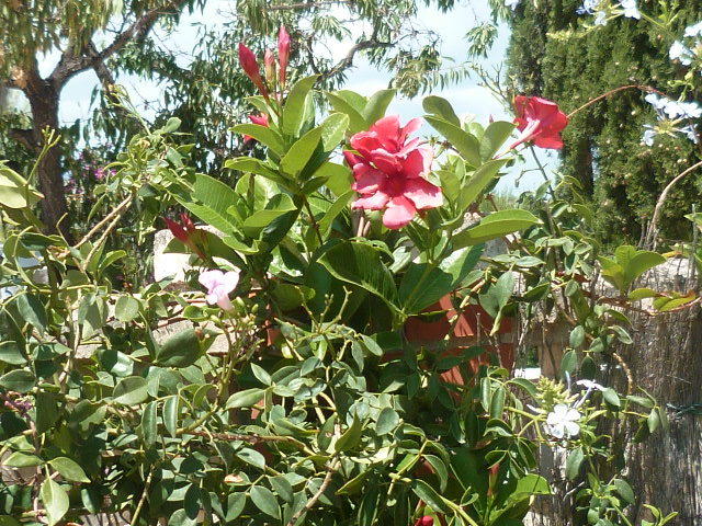 Dipladenia amabilis (= Mandevilla amabilis rose) 1-p10832