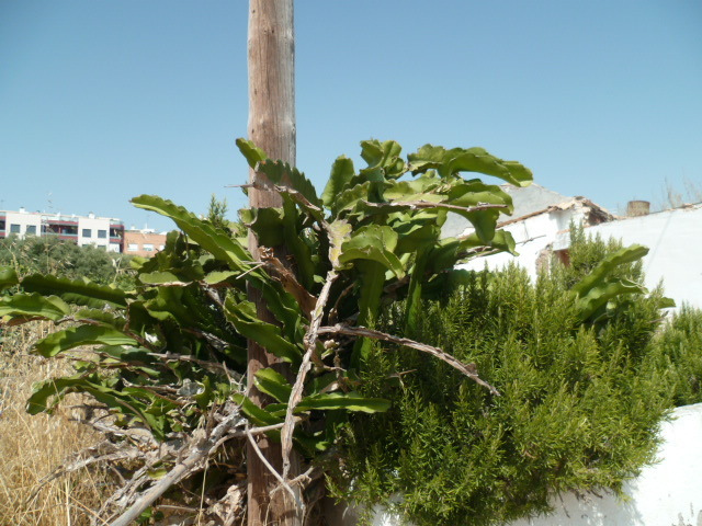 Hylocereus undatus - pitaya 1-p10844