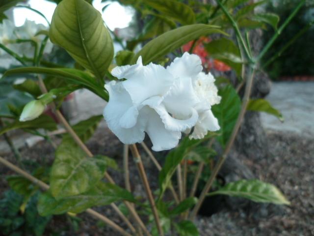 Tabernaemontana divaricata - jasmin café 1-p10845