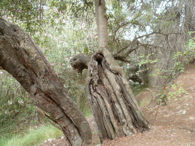 Ceratonia siliqua - caroubier 1-p10857