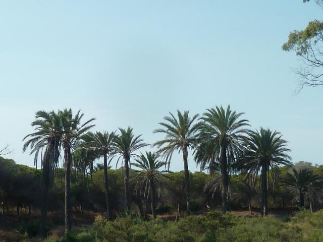 Phoenix dactylifera - palmier dattier - Page 2 1-p10863