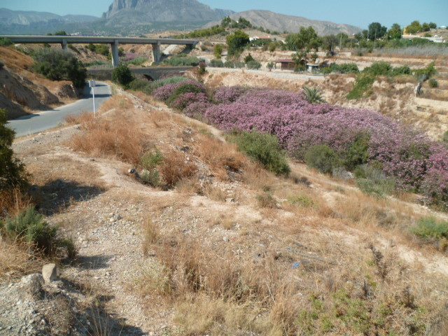 Nerium oleander - laurier rose - Page 3 1-p10889