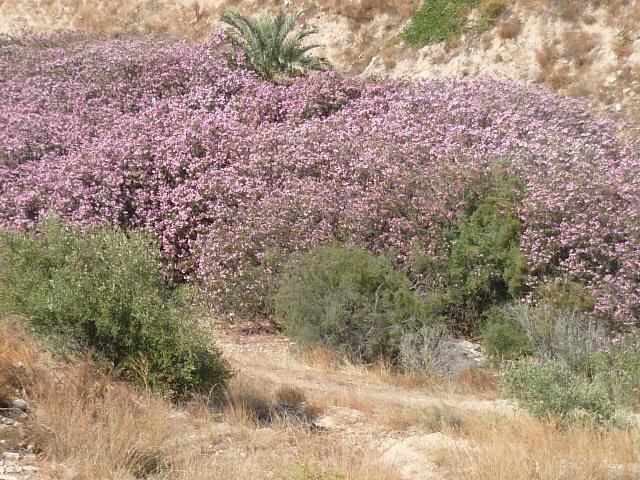 Nerium oleander - laurier rose - Page 3 1-p10891