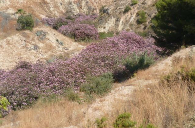 Nerium oleander - laurier rose - Page 3 1-p10892