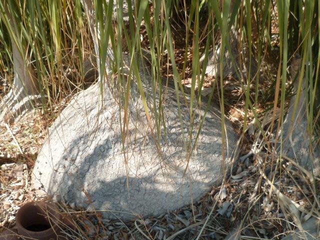 Beaucarnea recurvata - (ex Nolina recurvata) 1-p10893