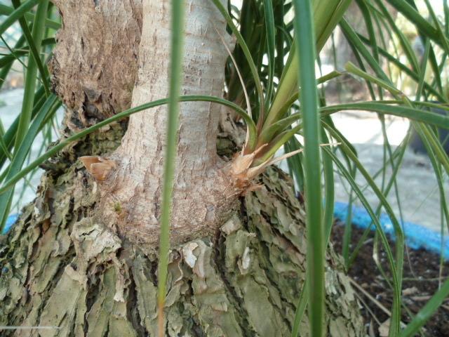 Beaucarnea recurvata - (ex Nolina recurvata) 1-p10895