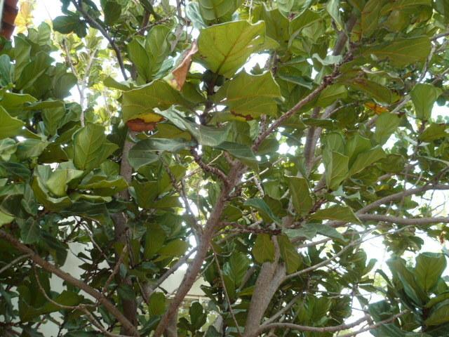 Ficus lyrata - figuier lyre 1-p10899