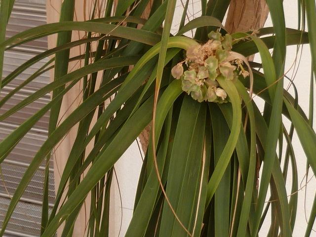 Beaucarnea recurvata - (ex Nolina recurvata) 1-p10913