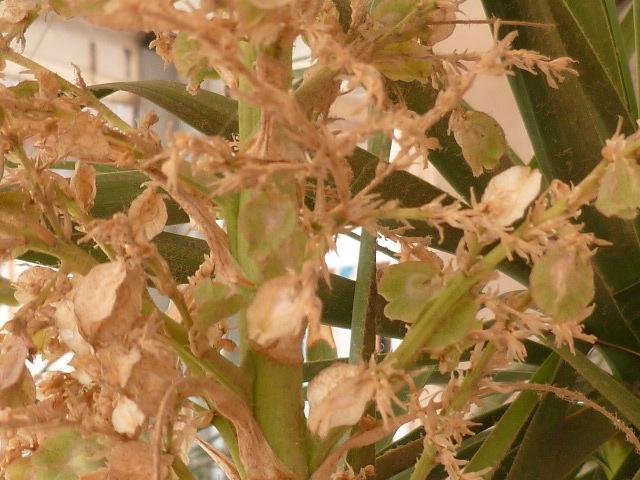 Beaucarnea recurvata - (ex Nolina recurvata) 1-p10914