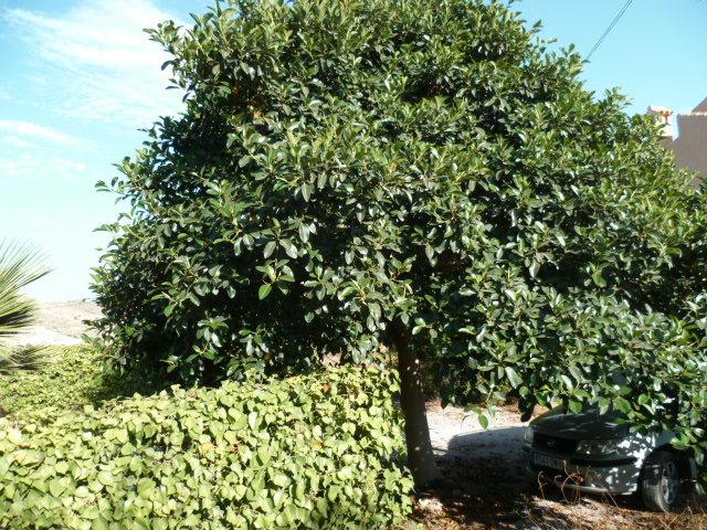 Ficus rubiginosa 1-p10922