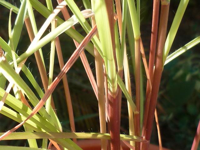Cymbopogon citratus - citronnelle 1-p10925