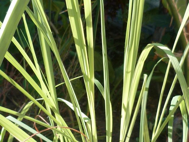 Cymbopogon citratus - citronnelle 1-p10926