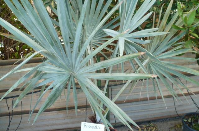 Bismarckia nobilis - palmier bleu de Madagascar 1-p10935