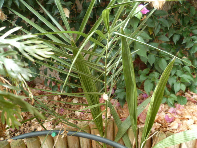 Bismarckia nobilis - palmier bleu de Madagascar 1-p10937