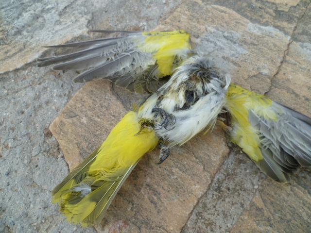 Identification oiseaux 1-p10966