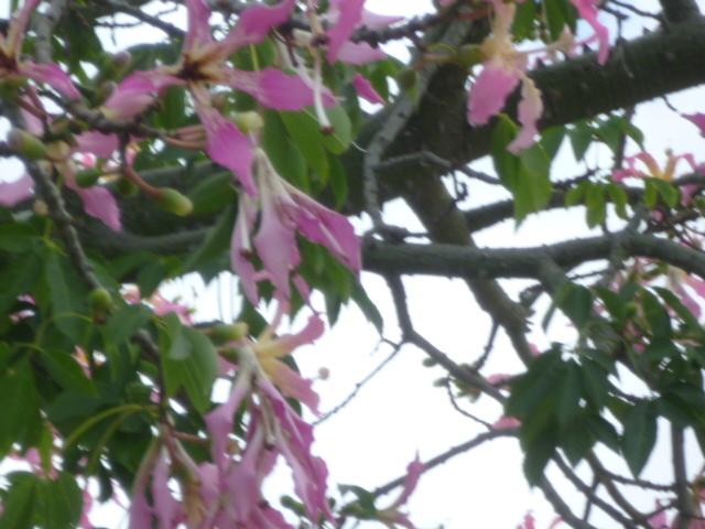 Ceiba speciosa (= Chorisia speciosa) 1-p10976