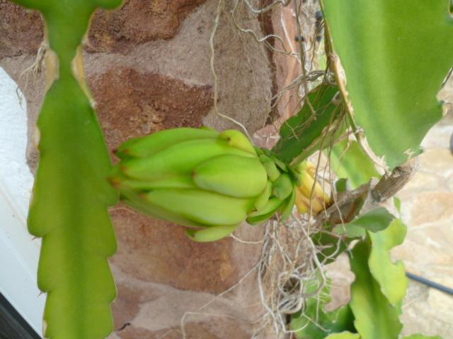 Hylocereus undatus - pitaya 1-p10977