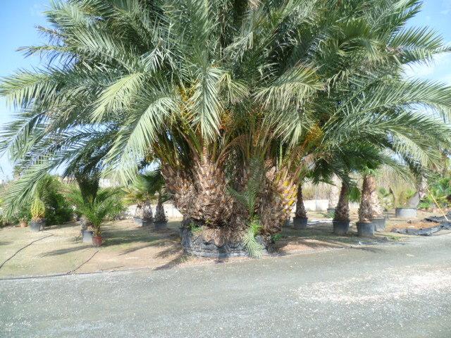 Phoenix dactylifera - palmier dattier - Page 2 1-p10979