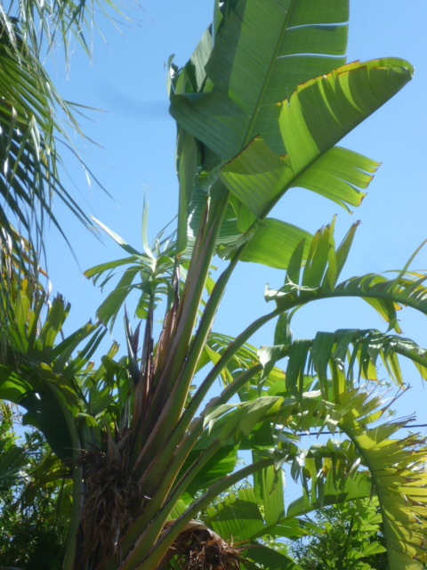 Différencier Strelitzia nicolai de Strelitzia augusta ou alba 1-p10992