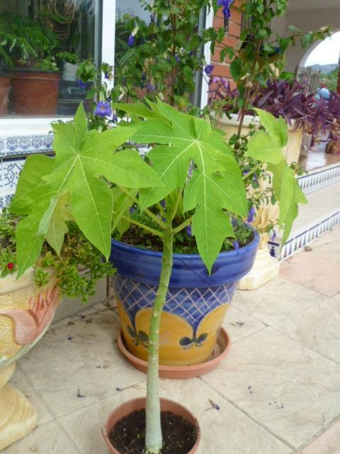 Carica papaya - papayer 1-p10994