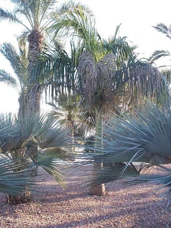 Roystonea regia - palmier royal 1-roys10