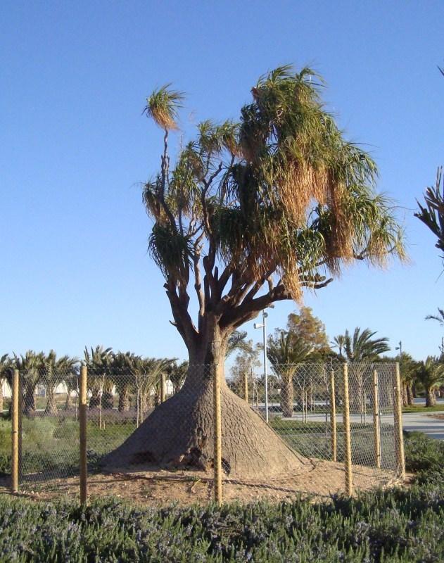 Beaucarnea recurvata - (ex Nolina recurvata) 1-ruta10