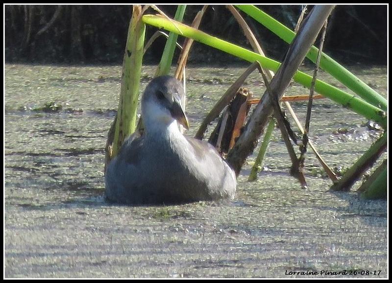 Gallinule Poule-d'eau 26-08-11