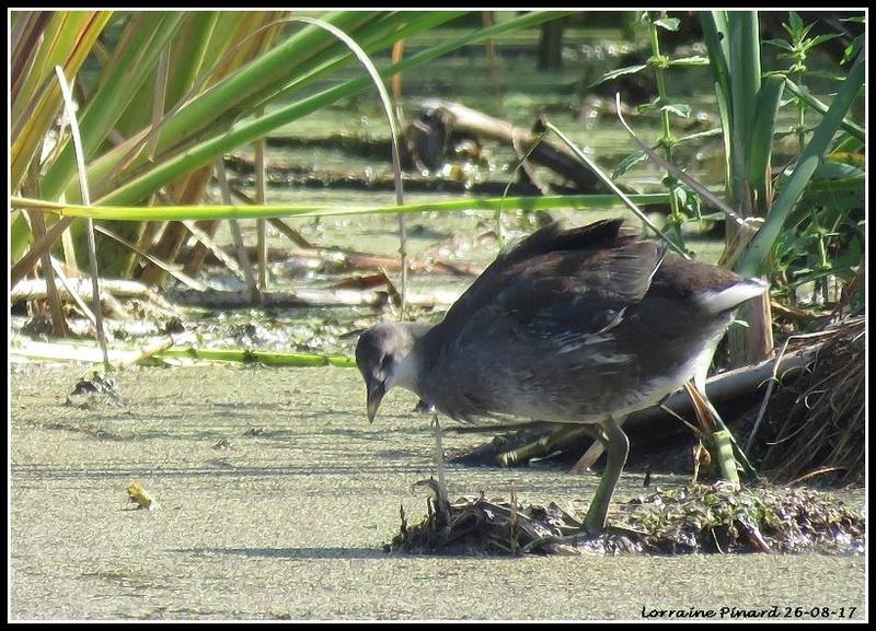 Gallinule Poule-d'eau 26-08-12