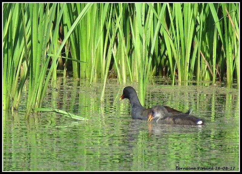 Gallinule Poule-d'eau 26-08-13