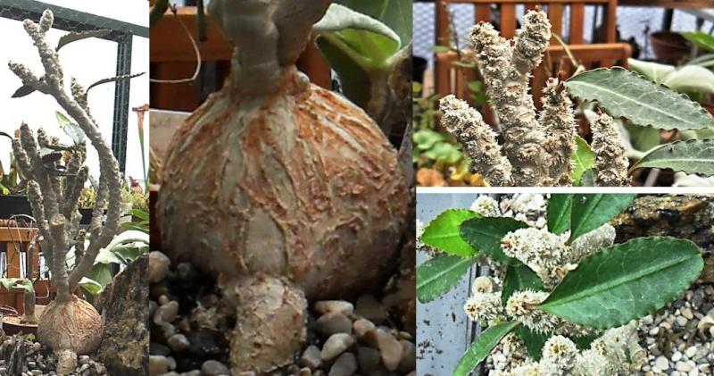 [Résolu] Quel est le nom de ce caudex ? (Euphorbia waringae) Caudex11