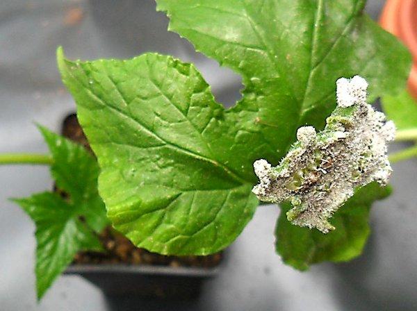 [RESOLU] Quel est le nom de cette plante ? (Dorstenia contrajerva) Plante10