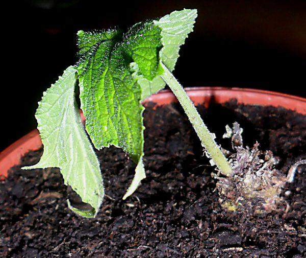 [RESOLU] Quel est le nom de cette plante ? (Dorstenia contrajerva) Plante13