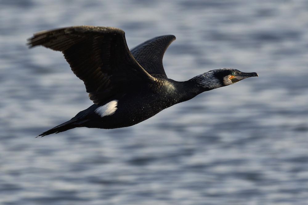 Cormoran en vol : Dsc_0910