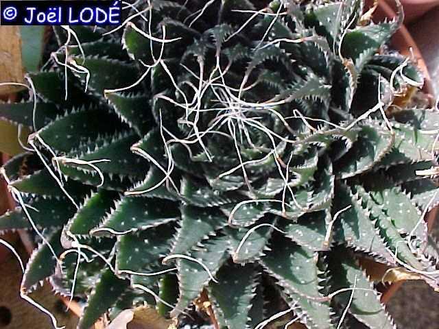 IDENTIFICATION  ( Haworthia  bolusii ) Aloe_a10
