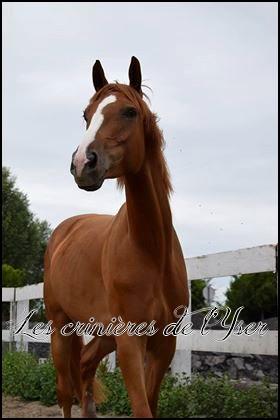 [Adopté] Lancelot - Cheval de selle de 6 ans (59) 20067510
