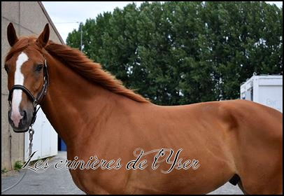 [Adopté] Lancelot - Cheval de selle de 6 ans (59) 20134510