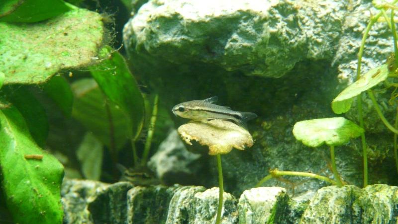 Mon nano aquarium 60L Sur_fu10