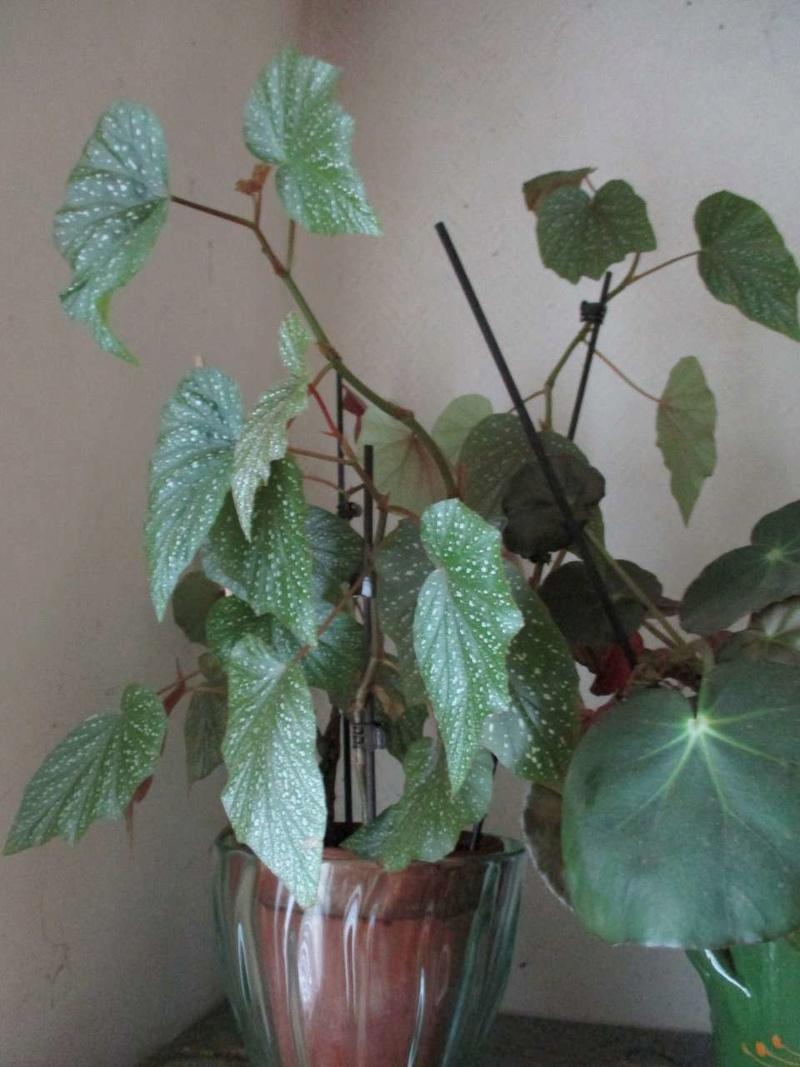 Begonia 'Astrida' (bambusiforme) Astrid10