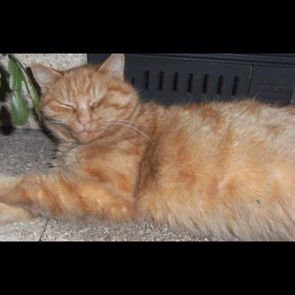 perdu CANELLE chatte tigrée rousse à CARHAIX (mars 2012) 46513_10