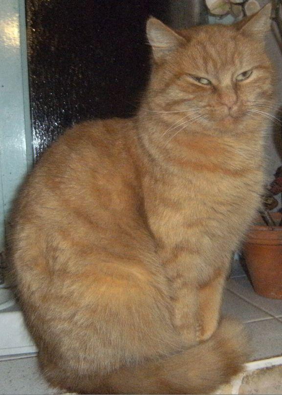 perdu CANELLE chatte tigrée rousse à CARHAIX (mars 2012) Canell10
